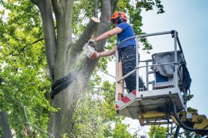 Baumrückschnitt mit Hubsteiger - Kollegen beobachten den Holzfäller